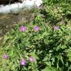 10 Geranium pratense2 copia