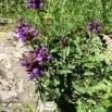 11 Prunella grandiflora copia