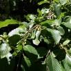 13 Rhamnus alpina PÚDOL 2 copia