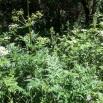 14 Melopospermum peloponesiacum COSCOLL copia