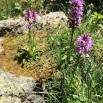 15 Dactyloriza maculata copia