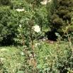 16 Rosa spinosissima copia