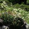 17 Saxifraga paniculata copia