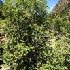19 Viburnum lantana Tortellatge copia