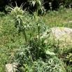 22 Eryngium bourgatii PANICAL copia