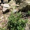 23 Polygonum alpinum copia