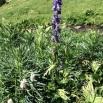 24 Aconitum napellus TORA BLAVA copia