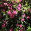 25 Rhododendrum ferrugineum NERET copia
