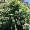 25 Sorbus aucuparia GUILLA DE PASTOR copia