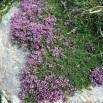 26 Thymus serpyllum SERPOLL copia
