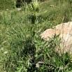 28 Cirsium eriophorum copia