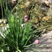 31 Allium copia