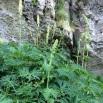 Aconitum anthora L TORA GROGA