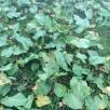 Tot un camp d'espinac de muntanya - Chenopodium bonus-henricus