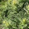 Cirsium glabrum