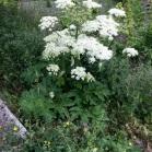 Melopospermum peloponesiacum - Coscoll monumental