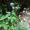 Fhyteuma hemisphaericum FITEUMA