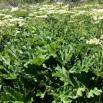 Heracleum sphondylium BRANCA URSINA3