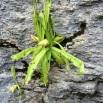 Pinguicula longifolia ATRAPAMOSQUES