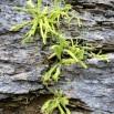 Pinguicula longifolia ATRAPAMOSQUES2