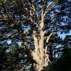 Pinus sylvestris PI ROIG monumental