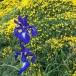 Xiphion latifolium i ERIZÓN