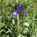 Xiphion latifolium LLIRI DELS PIRINEUS