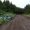 09 FAIAL entre hortènsies i bosc de Criptomeria japonica