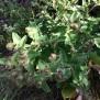 Artium lappa BARDANA planta del velcro2