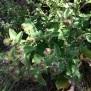 Artium lappa BARDANA planta del velcro3