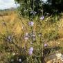 Cichorium intybus XICÒRIA2