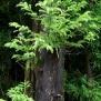 Criptomeria japonica CEDRE DEL JAPÓ3 12 de 45