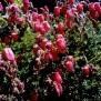 Daboecia azorica Foto Mireia Calvet 2 de 9