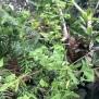 Euphorbia azorica 21 de 45