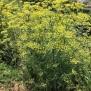 Foeniculum vulgare 22 de 45