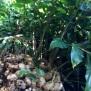 Hedychium gardnerianum GENGIBRE 23 de 45