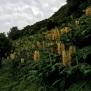 Hedychium gardnerianum GENGIBRE2 24 de 45