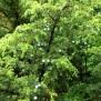 Juniperus brevifolia ZIMBRO2 29 de 45