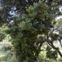 Laurus azorica Foto Mireia Calvet 6 de 9