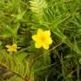 Lysimachia nemorum ssp azorica Foto Mireia Calvet 7 de 9