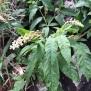 Phytolacca americana REÏM DE MORO2 35 de 45