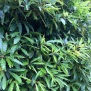 Pittosporum ondulatum2 38 de 45