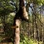 Quercus robur ISARD
