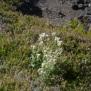 Silene uniflora Foto Mireia Calvet 8 de 9