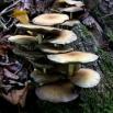 Alzinoi (Armillaria mellea)