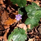 Herba fetgera (Anemone hepatica)