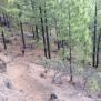 01 Trescant pel boscatge de pi canari (Foto A. Torras)