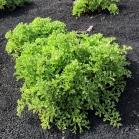 02 Astydamia latifolia 1 (LECHUGA DE MAR)