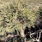 02 Adenocarpus viscosus 2 (CODESO)