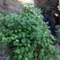 04 Ageratina adenophora (HARAGÁN)